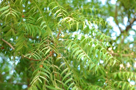 Temprakon Fresh Neem Tree
